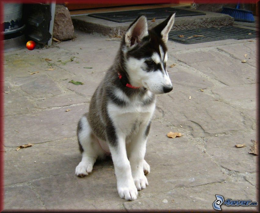 Husky cucciolo, cortile