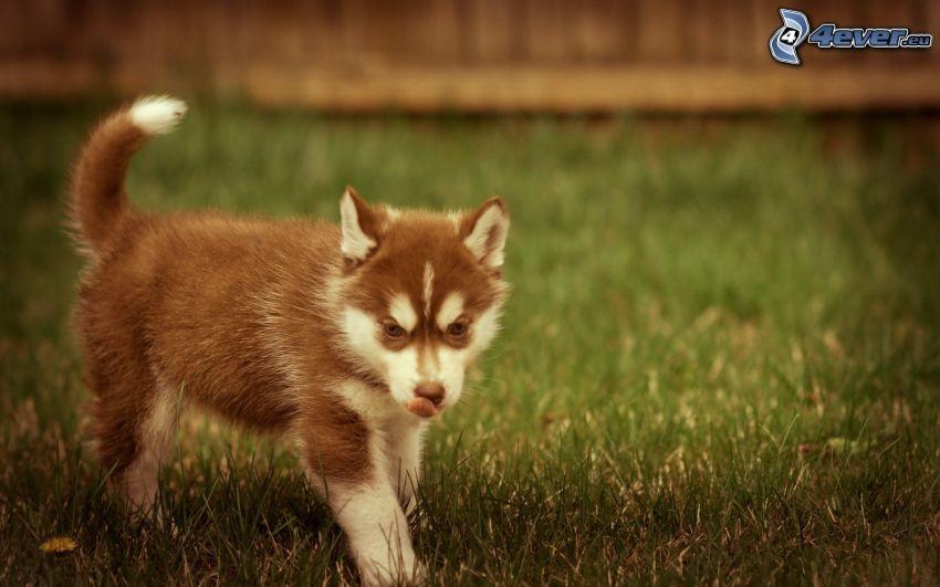 Husky cucciolo, la lingua fuori, l'erba