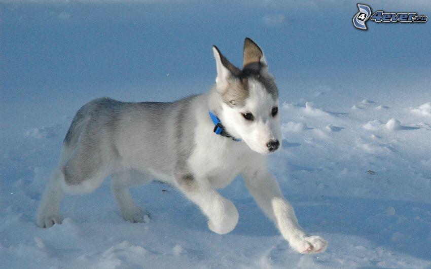 Husky cucciolo, neve, colletto