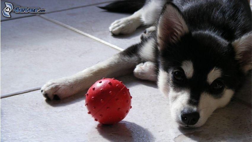 Husky cucciolo, palla
