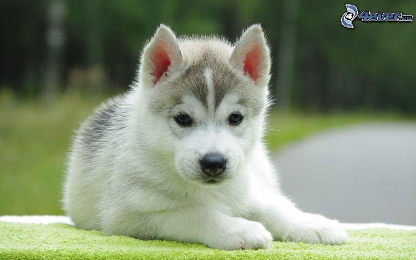 Husky cucciolo
