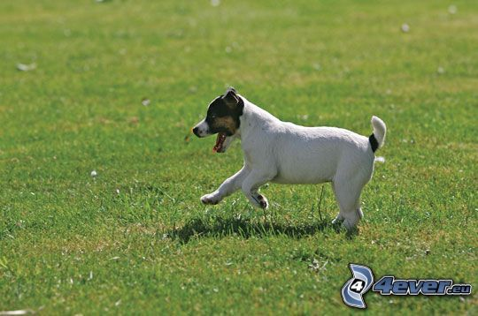 Jack Russell Terrier, cane sul prato