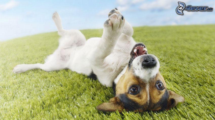 Jack Russell Terrier, l'erba