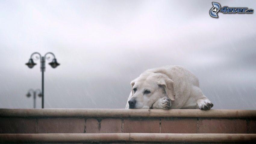 Labrador, riposo, lampione