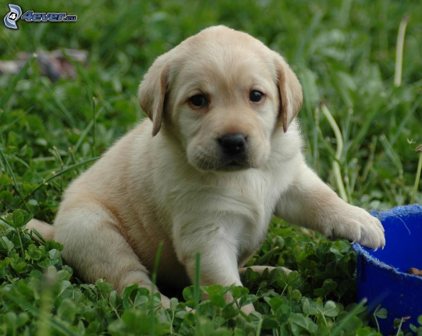 Labrador cucciolo, trifoglio