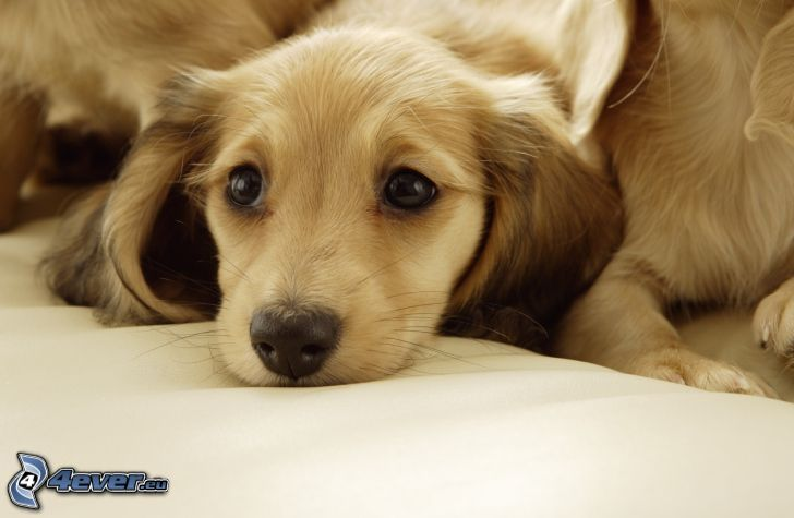 Labrador cucciolo