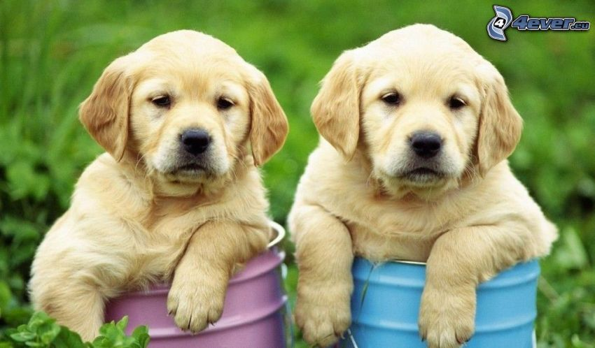 Labrador retriever, cuccioli, Botti