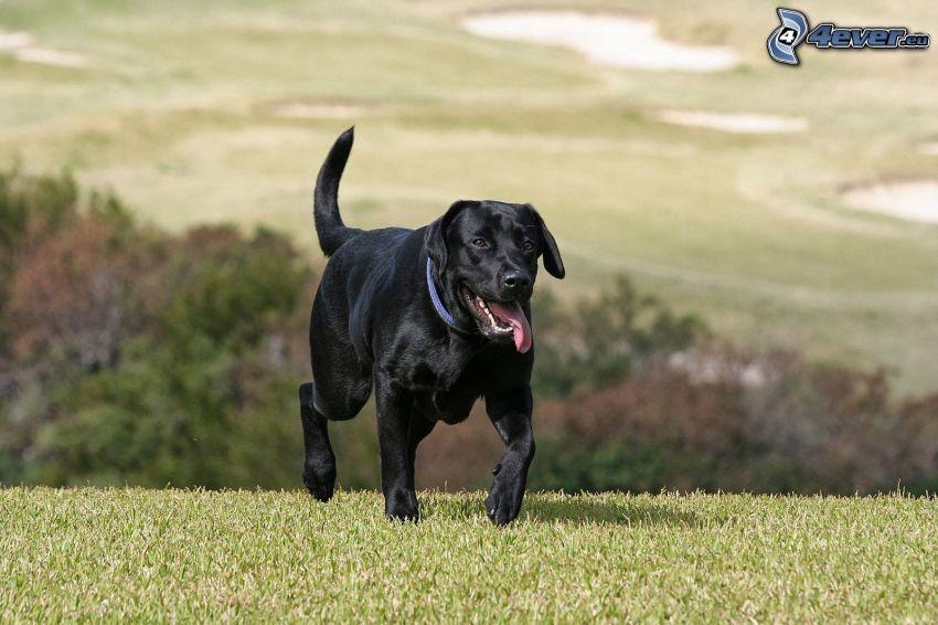 Labrador retriever, la lingua fuori