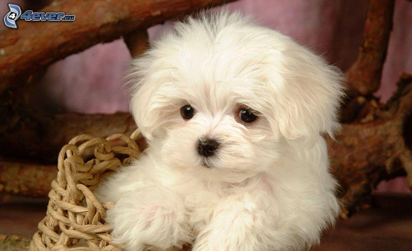 Maltese, cucciolo, cane in cestino