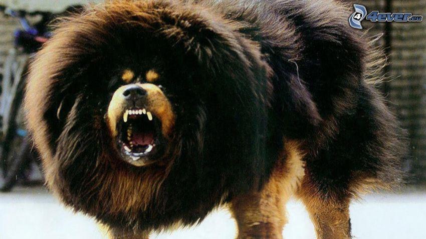 Mastino tibetano, rabbia