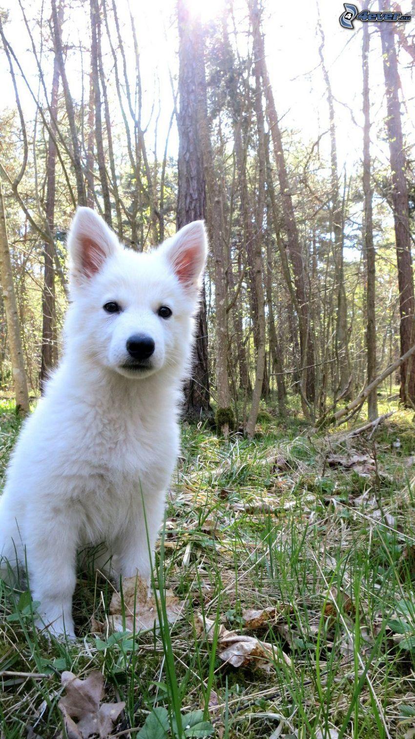pastore svizzero, cucciolo, foresta