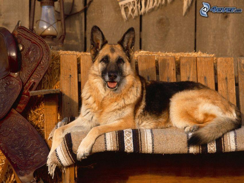 pastore tedesco, divano