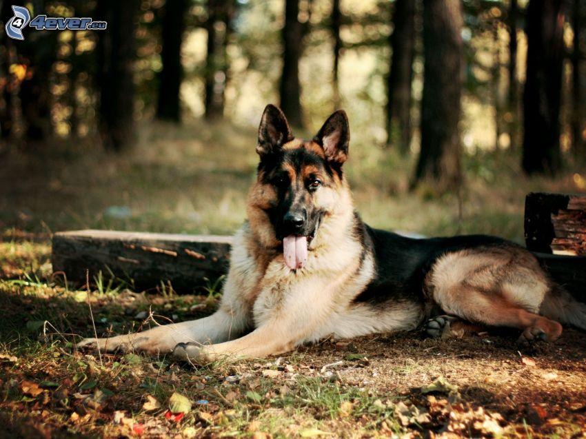 pastore tedesco, foresta