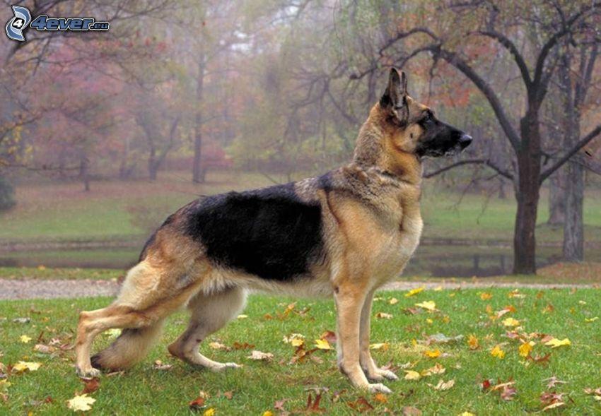 pastore tedesco, parco, foglie di autunno