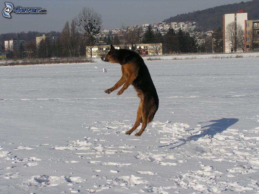 pastore tedesco, salto, neve