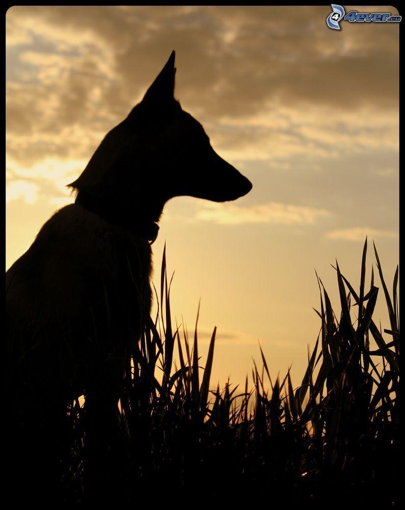pastore tedesco, silhouette, erba alta