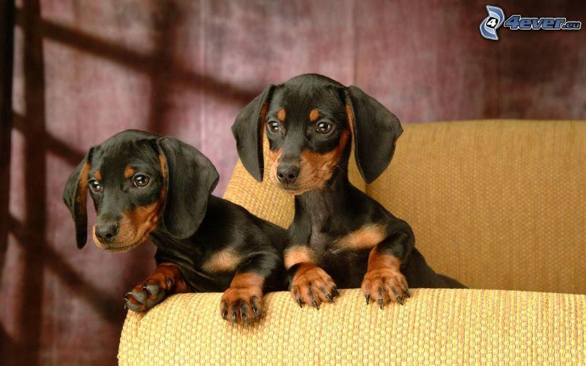 Piccoli bassotti neri - Perche i cani scavano sul divano ...