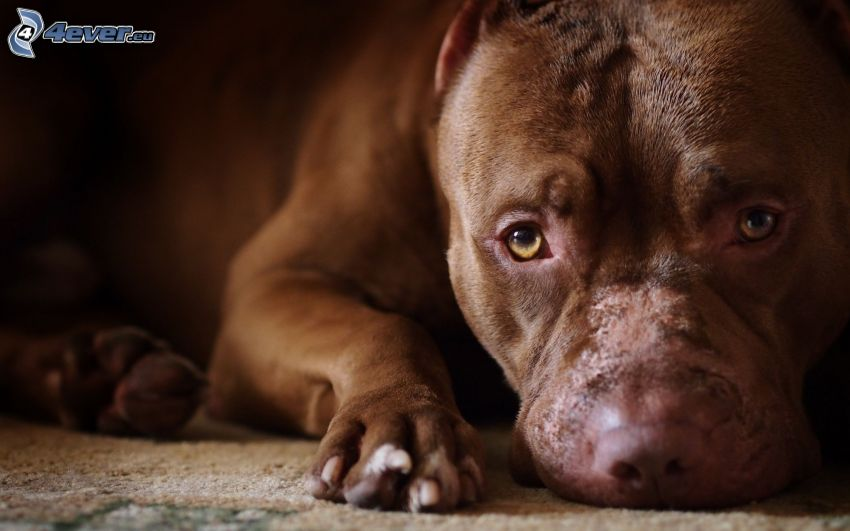pit bull, cucciolo marrone, cane sul cortile