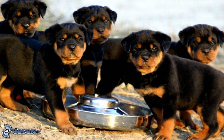 rottweiler, cuccioli