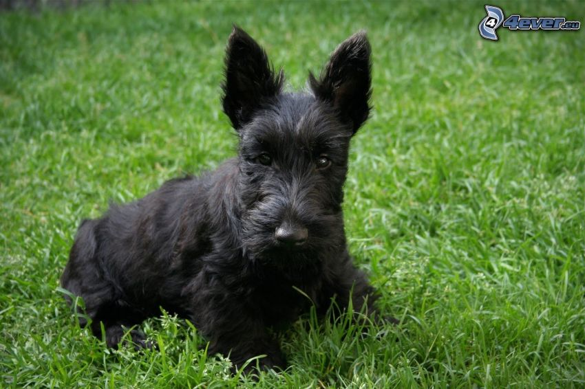 Scottish Terrier, l'erba