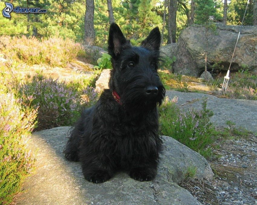 Scottish Terrier, pietre, foresta