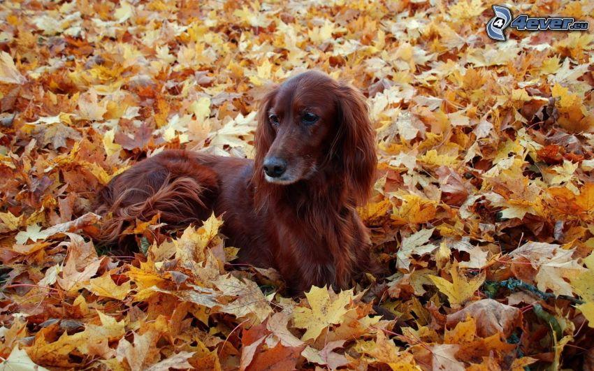 Setter irlandese, foglie cadute