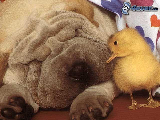 Shar Pei, piccolo anatroccolo, amicizia