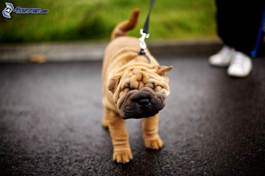 Shar Pei cucciolo, colletto