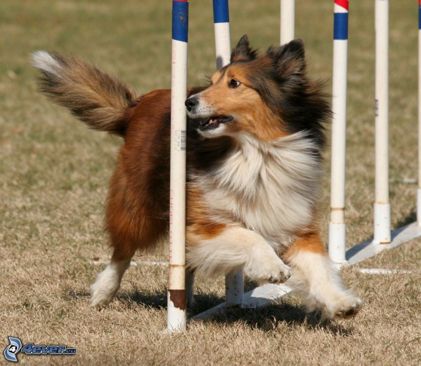 Sheltie, barriera