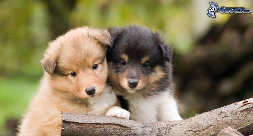 Sheltie, due cuccioli