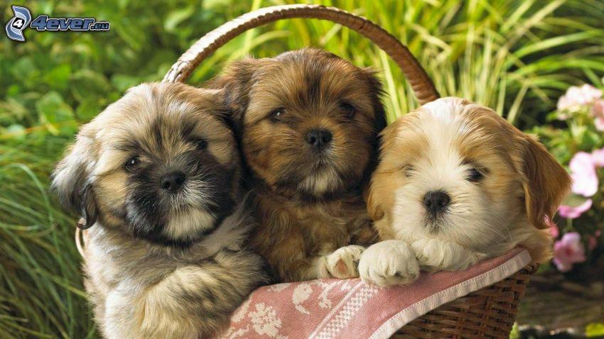 shih-tzu, cuccioli nel cestino