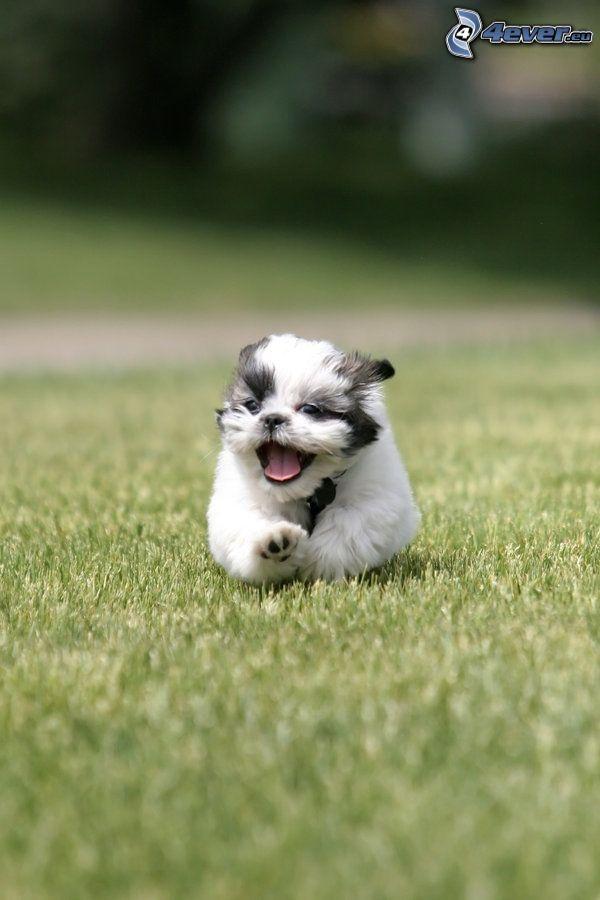 shih-tzu, cucciolo, correre, l'erba