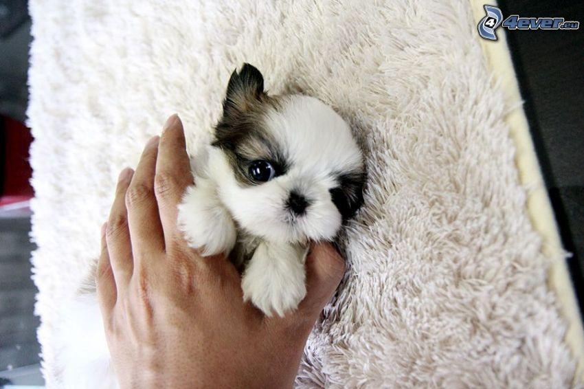 shih-tzu, cucciolo, mano, tappeto