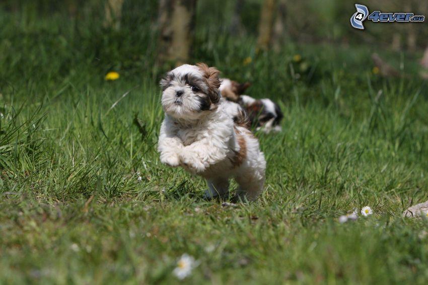 shih-tzu, l'erba, correre