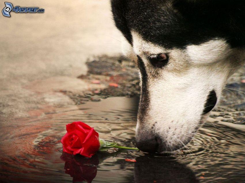 Siberian husky, cane con rosa