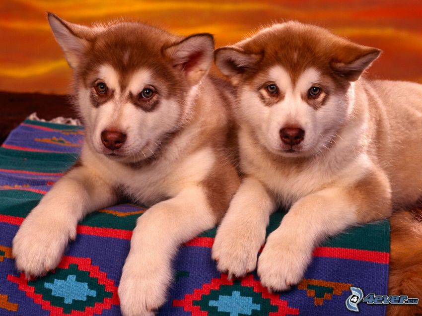 Siberian husky, cuccioli