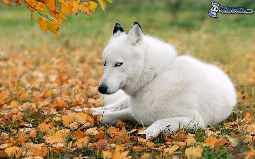 Siberian husky, foglie cadute