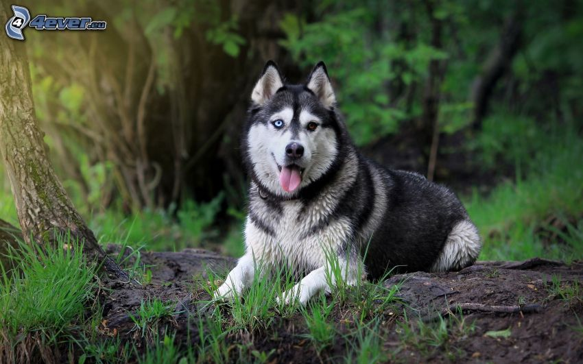 Siberian husky, la lingua fuori