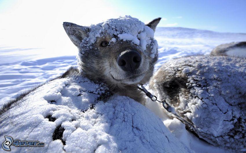 Siberian husky, neve