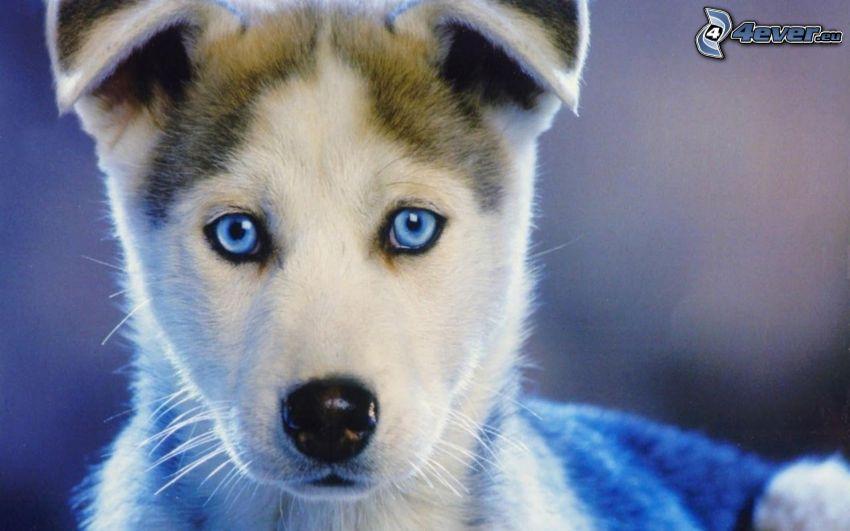 Siberian husky, occhi azzurri, cucciolo