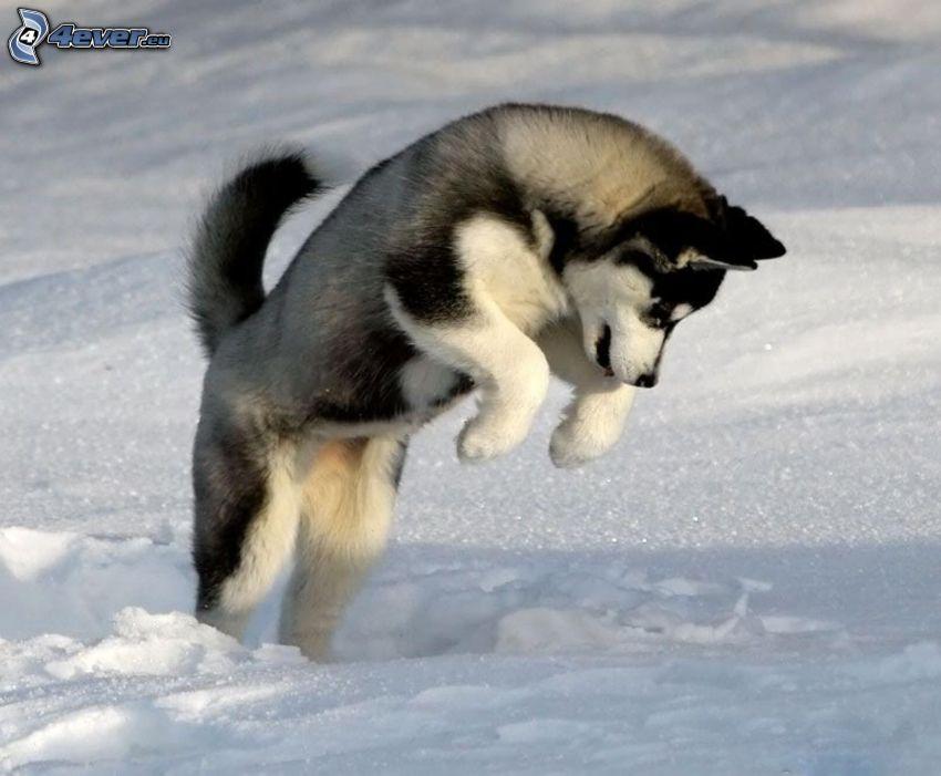 Siberian husky, salto, neve
