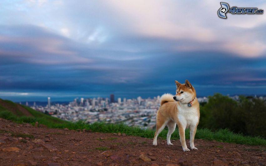 Siberian husky, vista della città