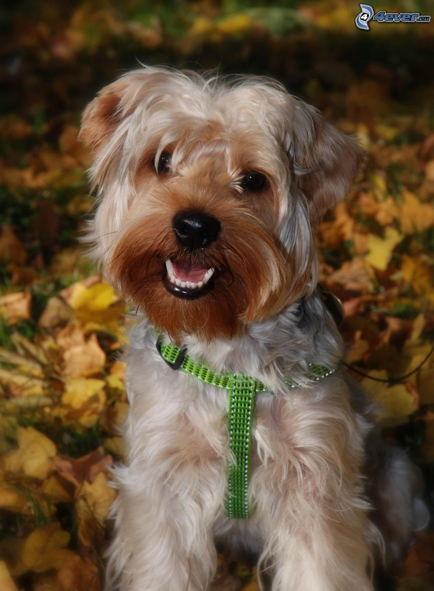 Yorkshire Terrier, colletto, foglie gialle