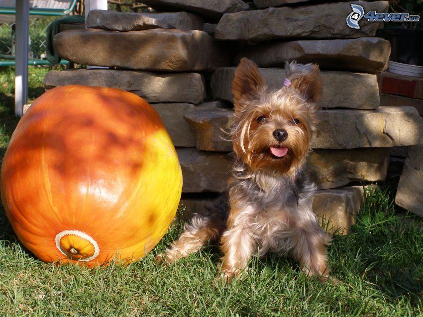 Yorkshire Terrier, zucca