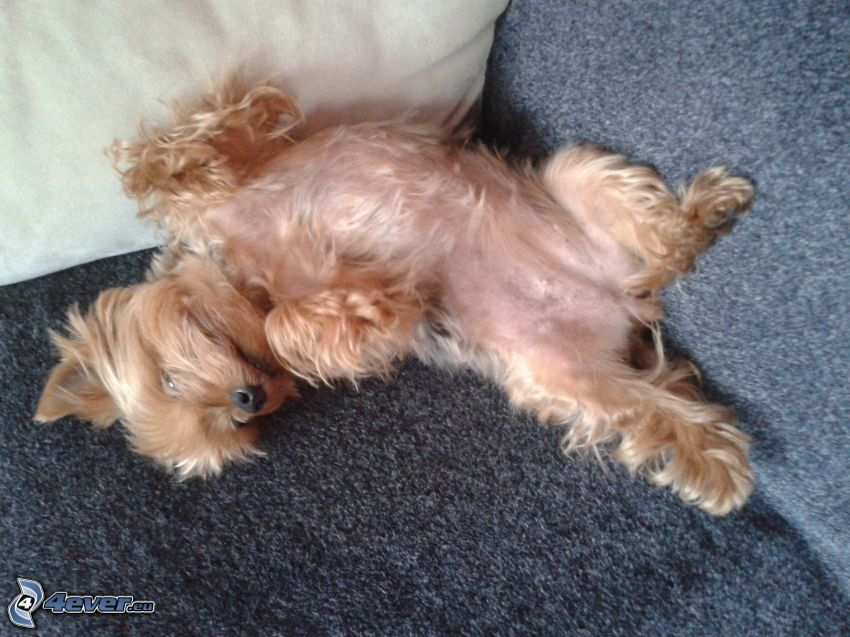 Yorkshire Terrier sul divano