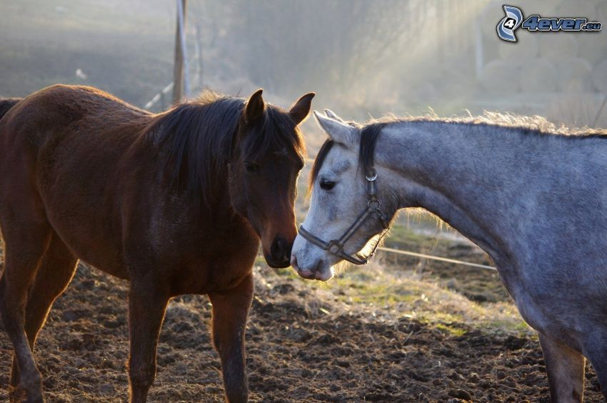 cavalli, amore