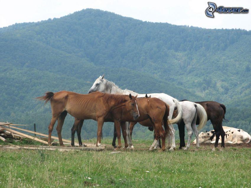 cavalli, cavallo, montagne, l'erba