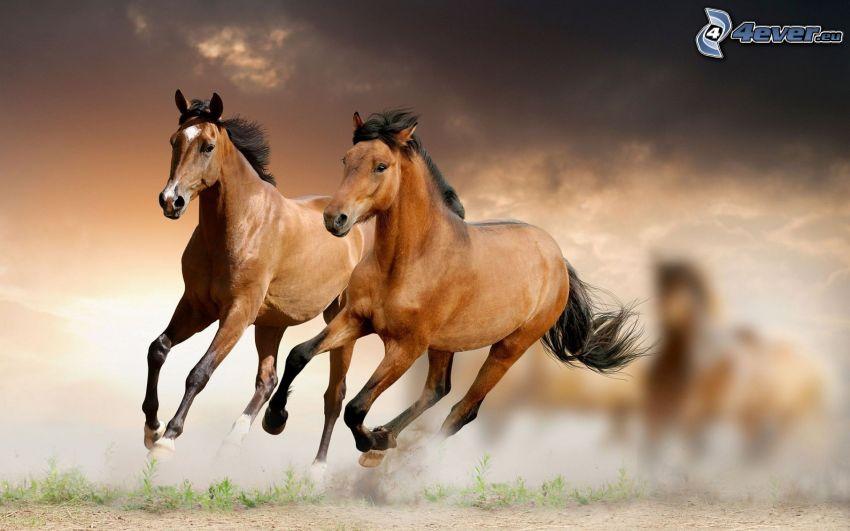cavalli, correre, polvere