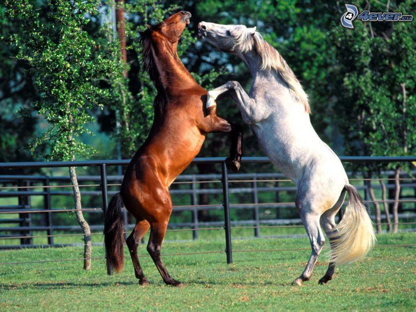 cavalli, l'erba, recinto, cielo