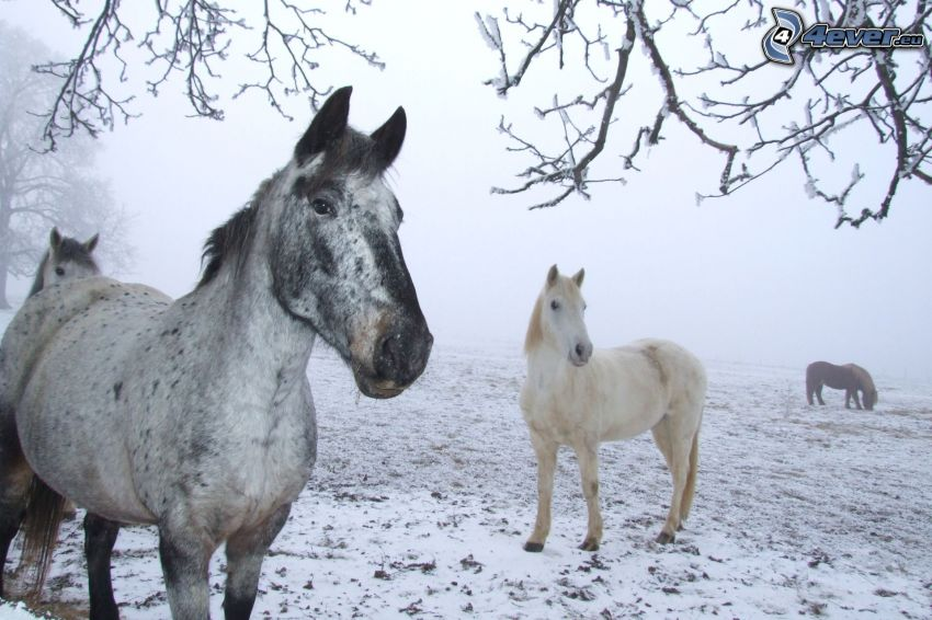 cavalli, neve